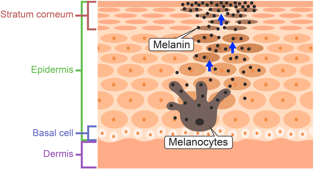Melanin and Melanocytes